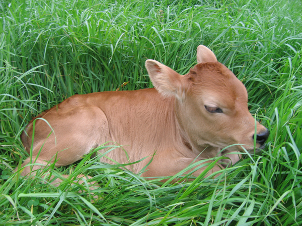 Resources about natural remedies for profitable, long lived cows for dairy.
